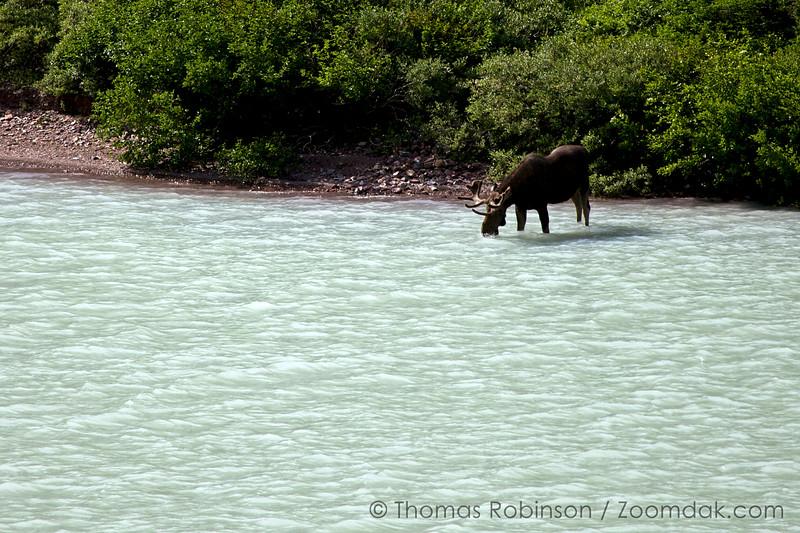 Moose at Cracker Lake, Glacier National Park