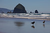 A Pair of Black Oystercatchers (Haematopus bachmani) fish in the ebb tide at Chapman Beach in Cannon Beach, Oregon.