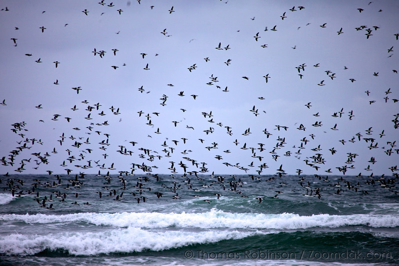A large flock of Common Murres (Uria aalge) fly low above the Pacific Ocean. <br /> <br /> Built better for diving than flying, they can dive to depths of 180 m (600 ft) but usually dive 30–60 m (100–200 ft). <br /> <br /> Common Murres live in large colonies on bare rock ledges high above the ocean. Theirs is located at Chapman Rocks, the 3rd largest Murre colony in the world.