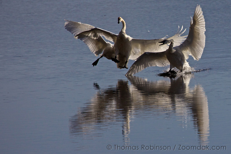 Two of the angry swans charge the culprit swan as they head in for landing on the lake in the National Elk Refuge near Jackson, Wyoming.