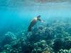 Surfacing Wild Sea Turtle