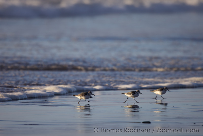 A ponderance of three snowy plovers (Charadrius nivosus) run along the water's edge in Seaside Oregon.
