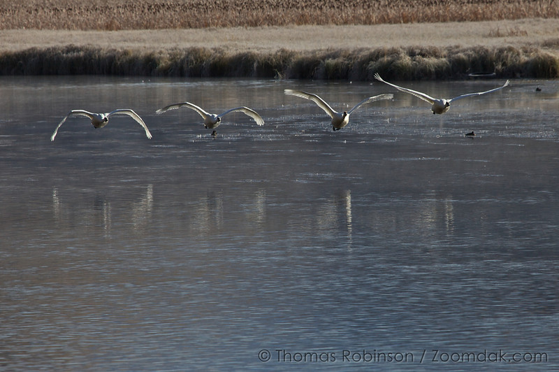 Joined by another one, the four swans fly near the water in the National Elk Refuge near Jackson, Wyoming. Also, notice each of their wing positions.