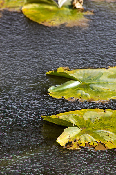 Water lilies float in a frozen pond in <br /> Yellowstone National Park.