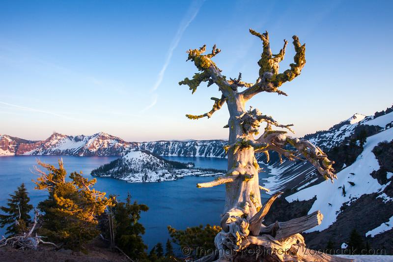 Crater Lake Gnarled Tree at Sunset