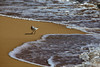 A Semipalmated Sandpiper (Calidris pusilla) searches for a morsel of food along the tide line on Mahaulepu beach in Kauai.
