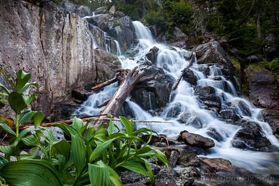 Corn Lily at Upper Snow Creek Falls