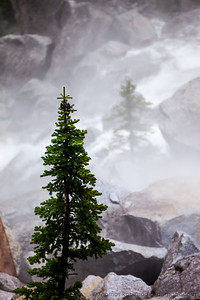 Pine Trees in the Mist