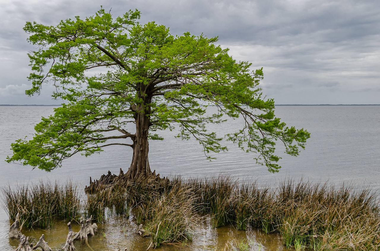 Tree on the Sound