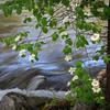Dogwood & Merced River