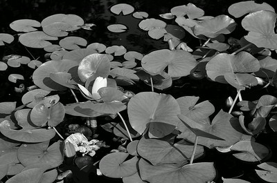 Lily pond, Stevens-Coolidge Estate, mono