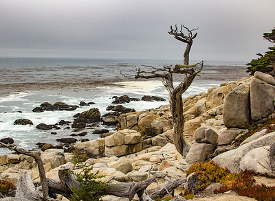 Ghost Tree - Monterey California