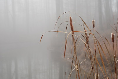 Foggy Cattails