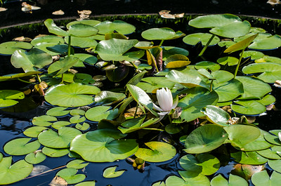 Lily pond, Stevens-Coolidge Estate