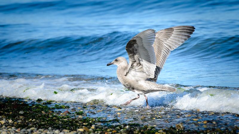 Ready for take off | Alki Beach, Seattle, WA | August 2016