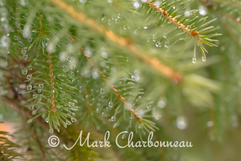 Rain in the Evergreens