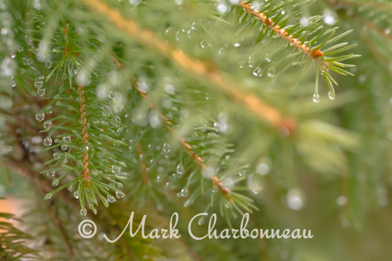 Rain in the Evergreens