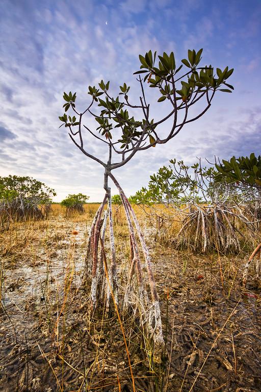 Lonely Mangrove - Varina Patel