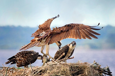 Adult Osprey bringing fish to young ospreys on nest
