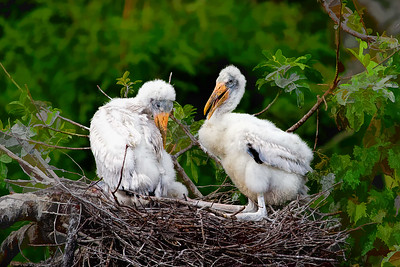 Wood Stork Chicks