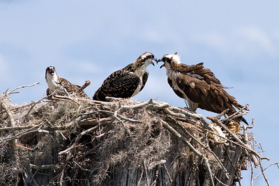 Osprey Disagreement?