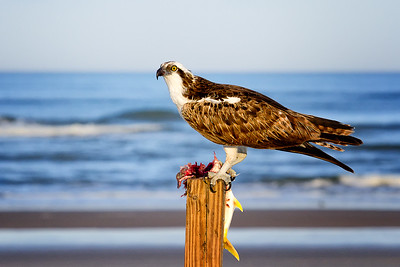 Osprey eating fish at New Smyrna Beach, Florida