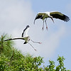 Woodstorks in Central Florida