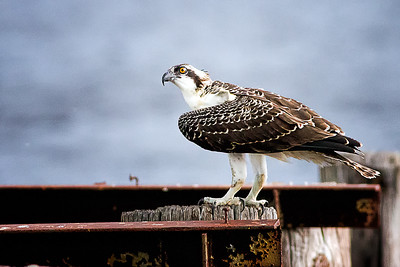 Young  Osprey ventures from nest