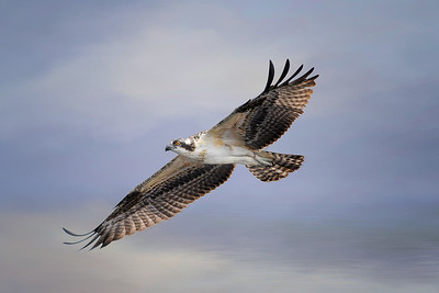 Osprey Flying over Lake Monroe in Sanford, Florida