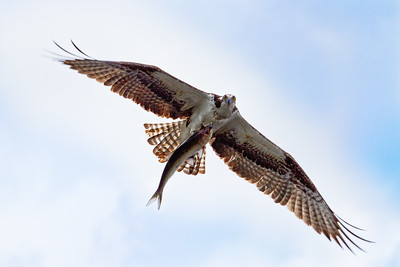 Osprey with fish at Cameron Wight Park