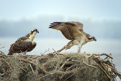 Young Osprey testing his wings