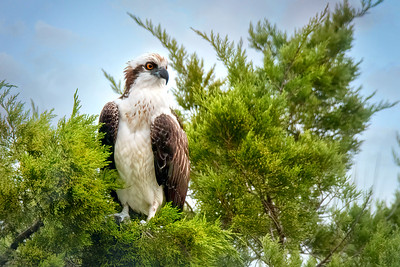 Juvenile Osprey at Merritt Island National Wildlife Refuge