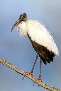 Wood Stork at Orlando Wetlands