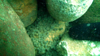 Lake sturgeon eggs observed on a completed spawning reef project in the St. Clair River.
