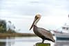 Pelican-OSMarina