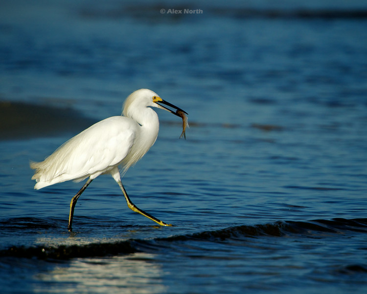 Bird-WhiteEgret-Fishing