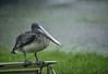 Pelican-rain Issac