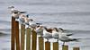 terns-praise