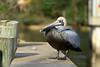 Birds-PelicanOSM1