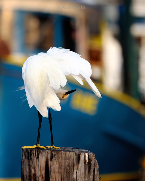 Bird-whiteegret-upsidedown