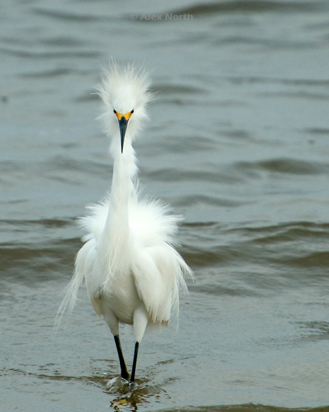 Bird-Whiteegret-strut