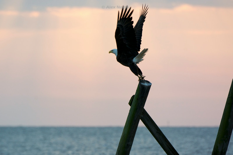 Birds-BaldEagletakeoff