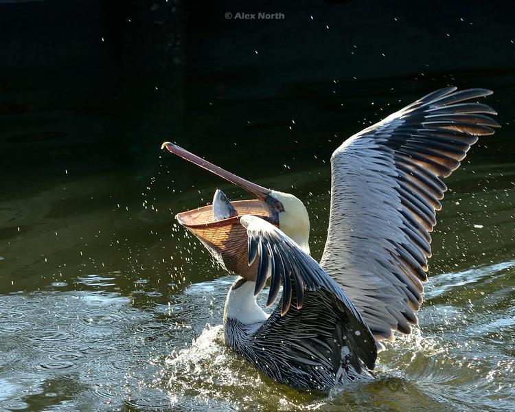 pelican-thecatchresized