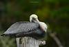 Birds-Pelicanoldman