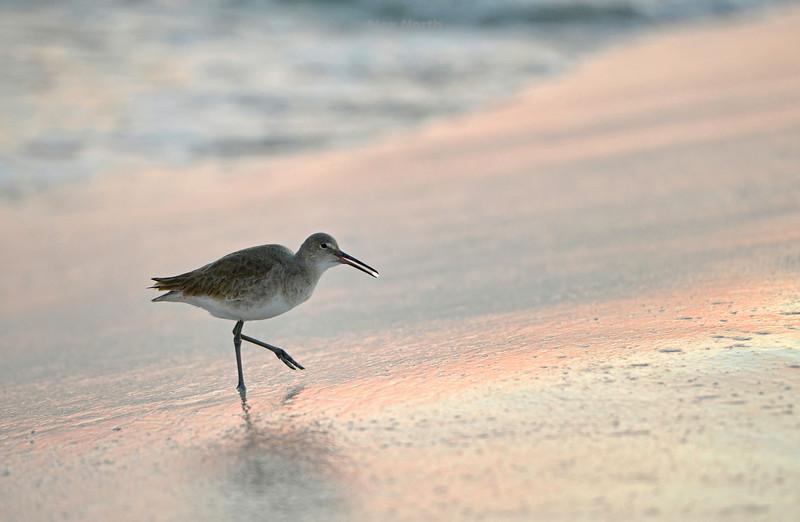 Birds-Willetsparkle