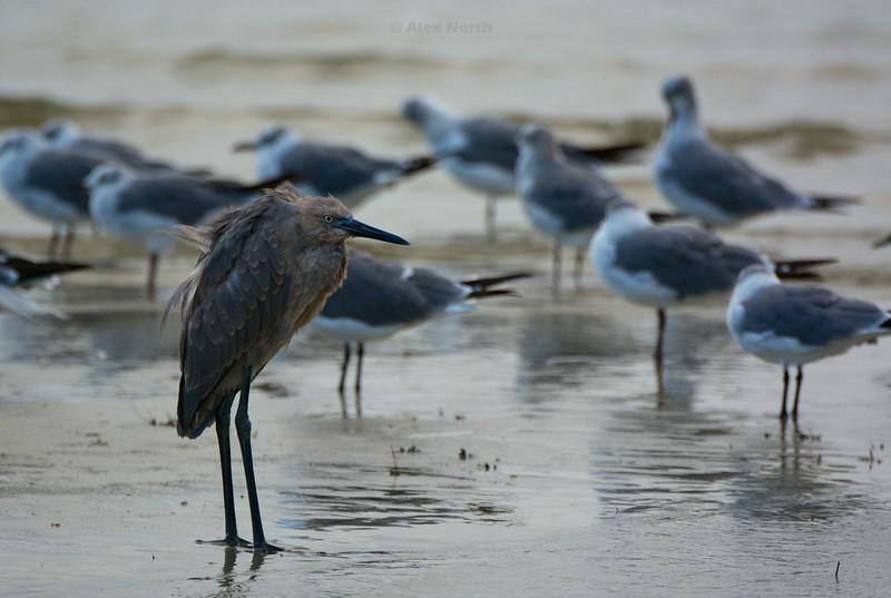 Birds-TricolorGPT