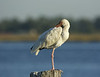 birds-whiteibis