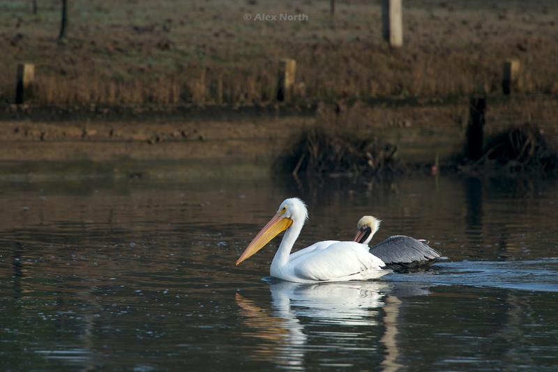 Birds-pelicancompare