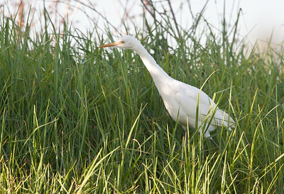 Eastern Cattle Egret