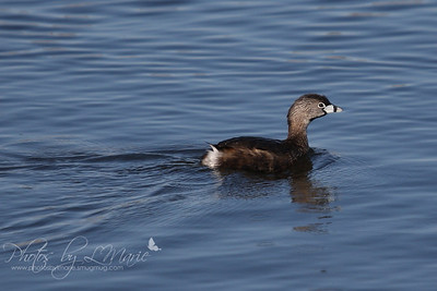 Pie-Billed Grebe